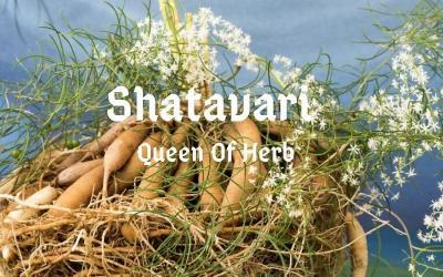 Shatavari: Queen of Herbs