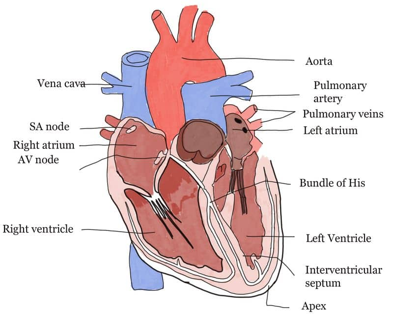 Impact of Yoga in Circulatory System